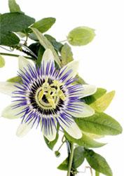 passiflora-vertical